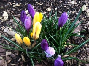 Goldnpurple crocuses
